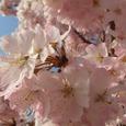 旧足柄桜(別名:ハルメキ)